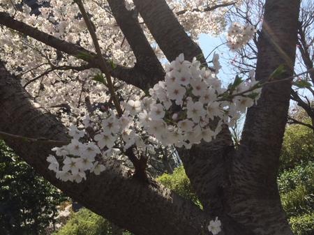 sakura).jpeg